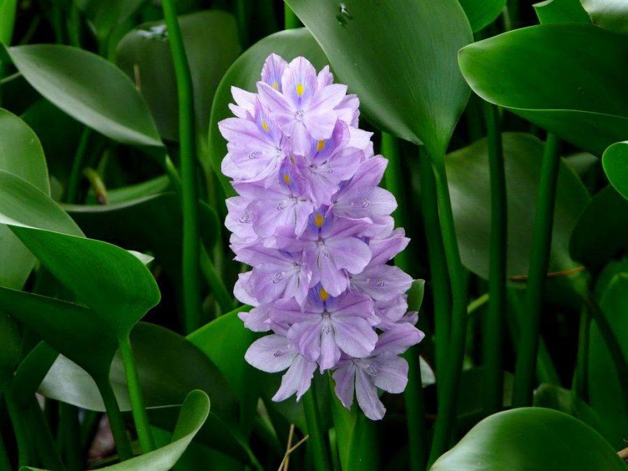 Cây thủy sinh được biết đến là một loại cây ưa nước và chỉ có thể phát triển trong môi trường nước